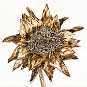 Dried Artichoke Flower, Austin, Texas, August 9, 2015.