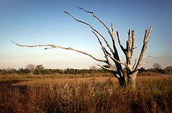 04 March 2016. Isle de Jean Charles, Louisiana.<br /> Vanishing land. First climate refugees in the USA. Isle de Jean Charles Band of Biloxi-Chitimacha Indians.<br /> A tree killed by saltwater intrusion. <br /> Scenes from the disappearing bayou where the tribe has recently been awarded $52 million to resettle on higher ground as more and more of their land is consumed by erosion from the Gulf of Mexico.<br /> Photo©; Charlie Varley/varleypix.com