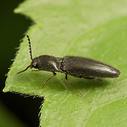 """A click beetle of approx 4mm length. Insects in the family Elateridae are commonly called click beetles (or """"typical click beetles"""" to distinguish them from the related Cerophytidae and Eucnemidae). Other names include elaters, snapping beetles, spring beetles or skipjacks."""