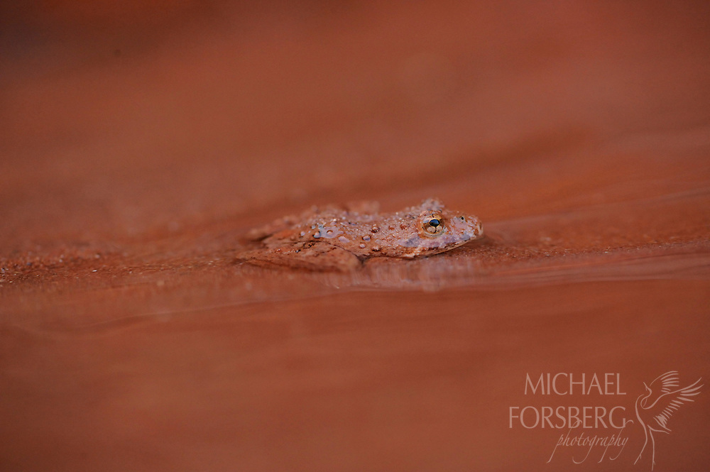 A Blanchard's cricket frog blends with the color of the sand in the clear spring-fed shallow of South Prong Creek.  Caprock Canyons State Park, Texas.