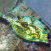 Scrawled Cowfish swim about a wide range of habitats from reefs to walls to sea grass beds in Tropical West Atlantic; picture taken Key Largo, FL