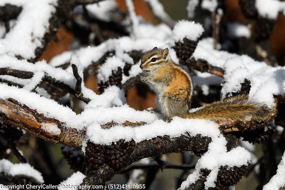 A Clorado Chipmunk in the fresh fallen snow