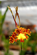 Exotic and strange petals form a surreal orchid flower in bright yellow, orange and maroon colors