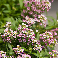 Kid-friendly scented gardens.Lobularia maritima ?Royal Carpet?, alyssum ?Royal Carpet?.
