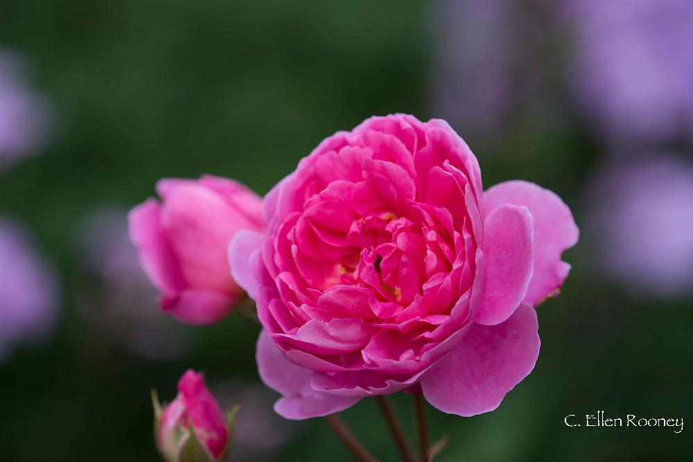 A pink rose at Wollerton Old Hall, Market Drayton, Shropshire, UK