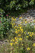 Ivy climbing shrub, Verbena and daisy type wildflowers growing on a verge by a Cotswold dry stone wall in Springtime in The Cotswolds, UK
