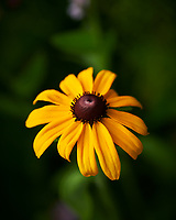 Black-eyed Susan. Image taken with a Nikon D850 camera and 60 mm f/2.8 macro lens