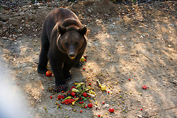 ROMANIA ZARNESTI 25OCT12 - A Eurasian brown bear enjoys some food at the Zarnesti Bear Sanctuary in Romania, funded by WSPA.....With over 160 acres (70 hectares) spread over a wooded hillside, it is Romania's first bear sanctuary and today houses 67 bears rescued from ramshackle zoos and cages at roadside restaurants.....jre/Photo by Jiri Rezac / WSPA....© Jiri Rezac 2012
