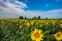 August 7, 2017 - Aletai, Aletai, China - Aletai, CHINA-August 7 2017: (EDITORIAL USE ONLY. CHINA OUT) ..Sunflowers blossom at Aletai, northwest China's Xinjiang Uygur Autonomous Region. (Credit Image: © SIPA Asia via ZUMA Wire)