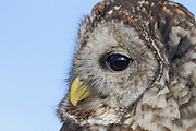 Stock photo of captive barred owl.  The barred owl has brown eyes, not yellow, as seen in most other owls.