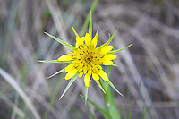 Yellow salsify is a non-native, European import and relative to chicory commonly found in the drier parts of the North America, excluding much of the American Southeast. This one was photographed near the banks of the Teiton River, just south of Naches, Washington.
