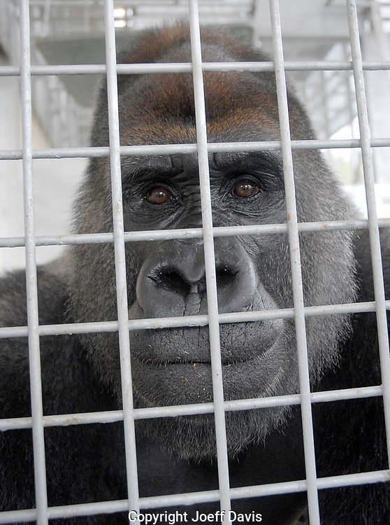 Joe in his cage at Gorilla Haven in North Georgia