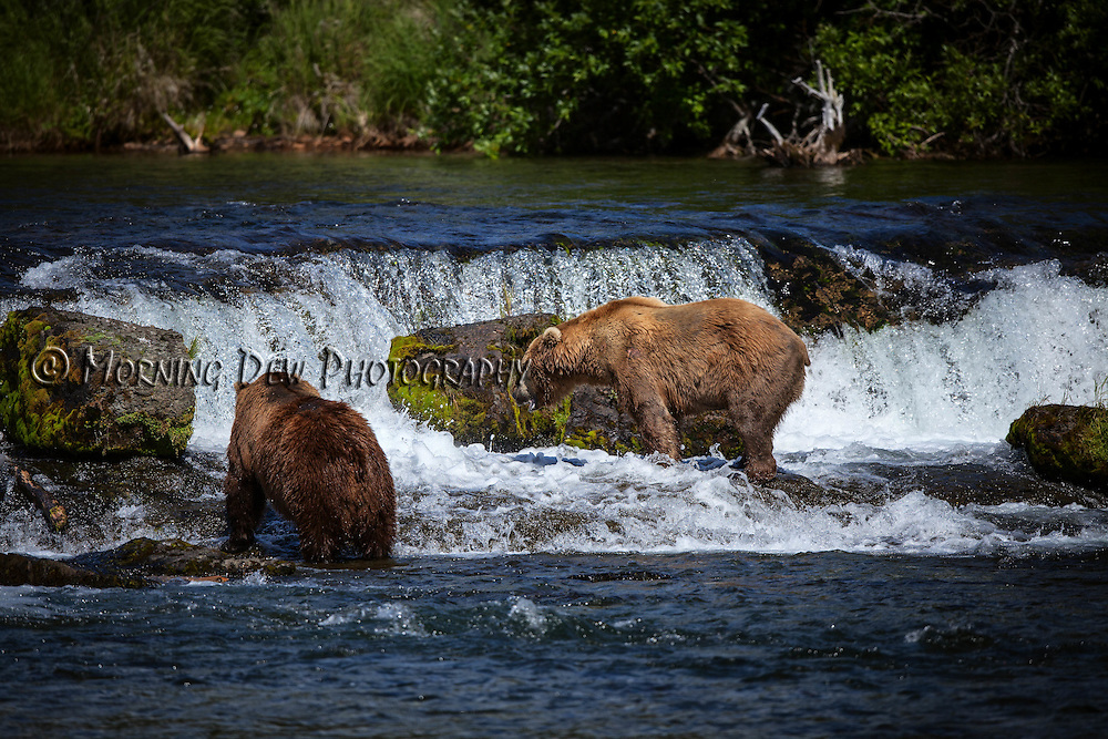 Two brown bears wait for passing salmon at Brooks Falls.