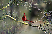 Cardinal (Richmondena cardinalis), in Palo Verde tree, Arizona-Sonora Desert Museum, Tucson, Arizona..McCain Photography Job #02117.Images created April 4, 1994..Rights & Usage:.No rights granted. Subject photograph(s) are copyrighted by ©1994 Edward McCain/McCain Photography. All rights are reserved except those specifically granted by this invoice...McCain Photography.211 S 4th Avenue.Tucson, AZ 85701-2103.(520) 623-1998.mobile: (520) 990-0999.fax: (520) 623-1190.http://www.mccainphoto.com.edward@mccainphoto.com