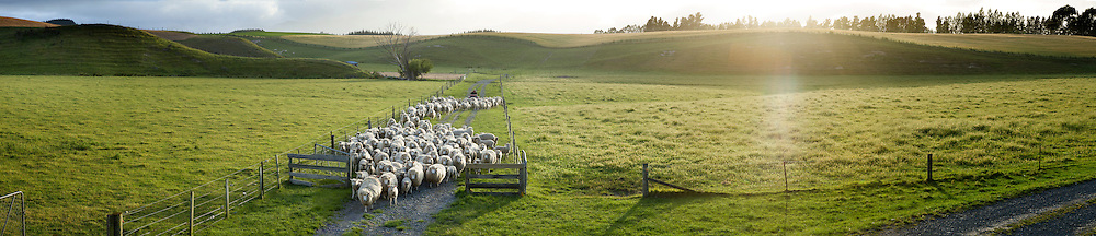 A farmer on a quad bike herds sheep down a lane and through an open gate.