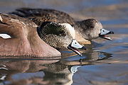 American Wigeon, Anas americana, male & female, New Mexico