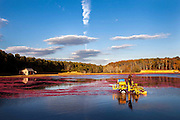 After flooding a bog, Cape Cod cranberry grower, Ray Thacher, uses a water harvester to churn the water and loosen the berries from the cranberry vines below.  The berries have small air pockets in them that allows them to float to the surface of the water.