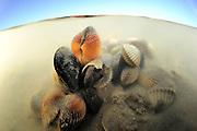 Herzmuschel Nordsee