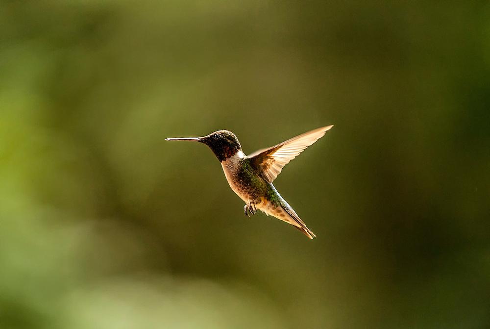 Hummingbird, Cattail Creek, North Carolina