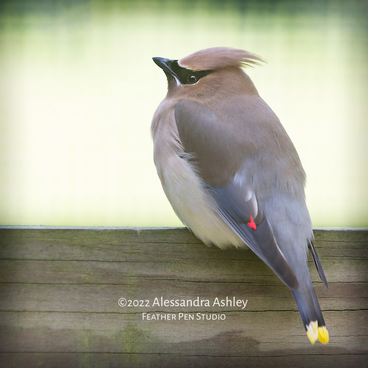 Cedar waxwing with visible red wing tip, perched, against soft green background.