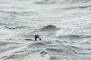 EIder duck, with a crabg it had just caught in rough water, just off the LIttle Ferry Pier at Golspie, in Scotland.