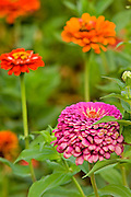 pink and orange Chrysanthemum