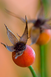 """This rose has already lived and produced the seed for a new generation and the petals have died away but new life awaits in the """"rose hip"""" which remains"""