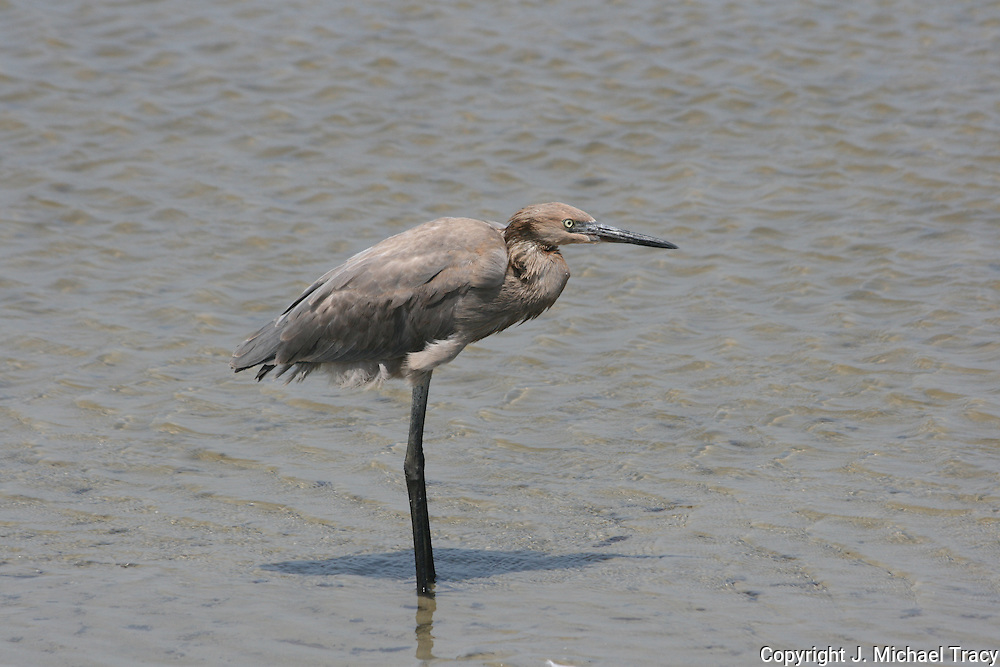 A bland colored heron on a Jekyll Island beach, eating tiny crabs left by the tide.