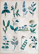 19th century lithography of common flowers and plants