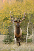 A bull elk stands in front of quaking aspens, Northern Rockies
