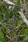Amazon Darner.Anax amazili.female.Santa Ana N.W.R.,.Hidalgo Co., Texas.4 October 2008
