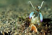 In guter Fangschreckenkrebs-Manier verbirgt dieser Fangschreckenkrebs (Lysiosquilla sulcirostris) seinen Hinterleib wieder in der selbstgegrabenen Höhle. | Smasher Mantis Shrimp (Lysiosquilla sulcirostris)