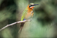 White-Fronted Bee-eater, Marataba Private Game Reserve, Limpopo, South Africa