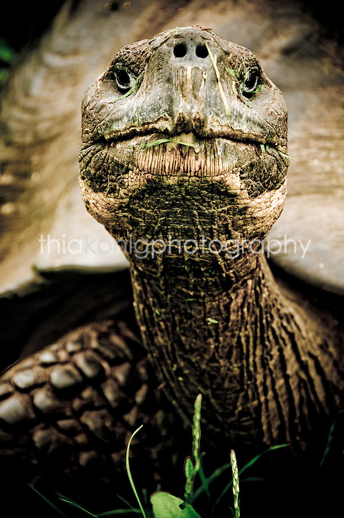 A Giant Tortoise sticks his neck out towards the camera in the Galapagos Islands.