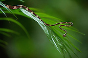 Blunthead Tree Snake (Imantodes cenchoa)<br /> Yasuni National Park, Amazon Rainforest<br /> ECUADOR. South America<br /> HABITAT & RANGE: Forests of Northern South America, Trinidad and Tobago