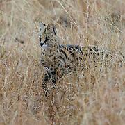 Serval cat (Leptailurus serval) from Maasai Mara, Kenya.