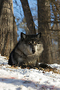 Black wolf (Canis lupus) bedded in wooded winter habitat. Captive pack.