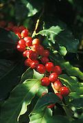 """Kona coffee ripe """"cherry"""" on tree; South Kona, Island of Hawaii."""