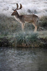 ©  London News Pictures. 08/11/2016. London, UK. A deer stag stands next to a frozen pond at sunrise in Richmond Park, London on a cold autumn morning. Photo credit: Ben Cawthra/LNP