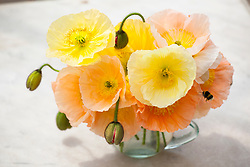 Papaver nudicaule 'Meadow Pastels' in a glass vase with bee. Iceland poppy, Arctic poppy