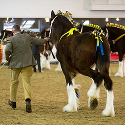 Mr Philip Shipman's Kerrial Amy<br /> f  2012<br /> Sire  Moorfield Edward<br /> Dam  Kerrial Hester