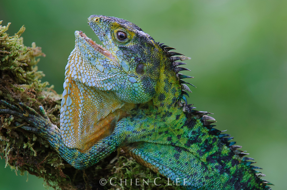 Hypsilurus hikidanus, a rare tree-dwelling lizard from the highlands of New Guinea. Papua, Indonesia.
