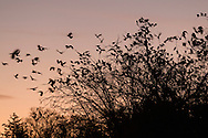 Middletown, New York - Crows gather in tree branches at sunset on Nov. 12, 2016.