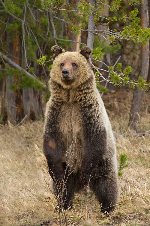 A fair-haired grizzly cub stands upright to scan his surroundings. Bears stand on their hind legs to get a better view or a better smell of what is ahead of them. Since cubs are small, they stand upright more often, sometimes just to see over the long grass.