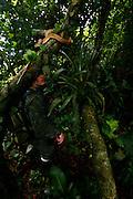 Itanhaem_SP, Brasil.<br /> <br /> Jararaca-ilhoa (Bothrops insularisIlha) na Ilha da Queimada Grande em Itanhaem, Sao Paulo.<br /> <br /> Golden lancehead (Bothrops insularisIlha) in Ilha da Queimada Grande in Itanhaem, Sao Paulo.<br /> <br /> Foto: JOAO MARCOS ROSA  /NITRO