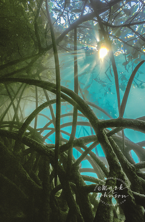 Mangrove roots underwater | Mark A Johnson Photographer
