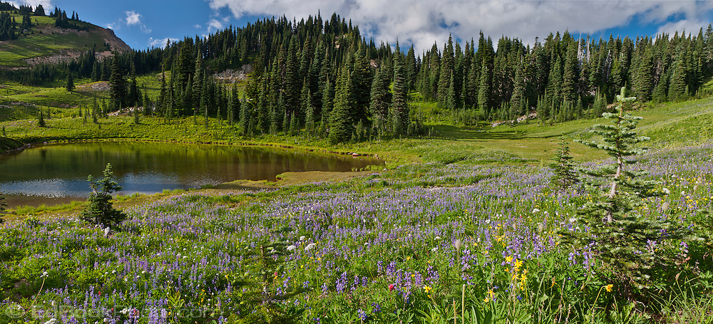 pond in a meadow with lupine blooming along the Naches Peak Loop Trail below Naches Peak south of Chinook Pass along the Pacific Crest Trail in Mount Rainier National Park, Cascade Range, Washington state, USA panorama