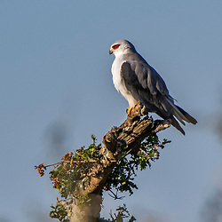 Peneireiro-cinzento (Elanus caeruleus) fotografado na África do Sul. Registro feito em 2019.<br /> ⠀<br /> ⠀<br /> <br /> <br /> <br /> <br /> ENGLISH: Black-winged kite photographed in South Africa. Picture made in 2019.