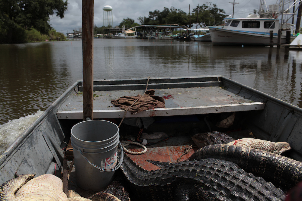 Paul Serigne returns to Delacroix Island, LA after spending the morning gator hunting in the bayou on August 27th, 2010.