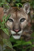 Puma (Puma concolor)<br /> Belize Zoo CAPTIVE<br /> BELIZE, Central America